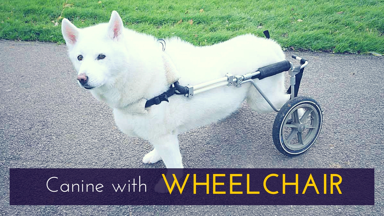 Canine with Wheelchair