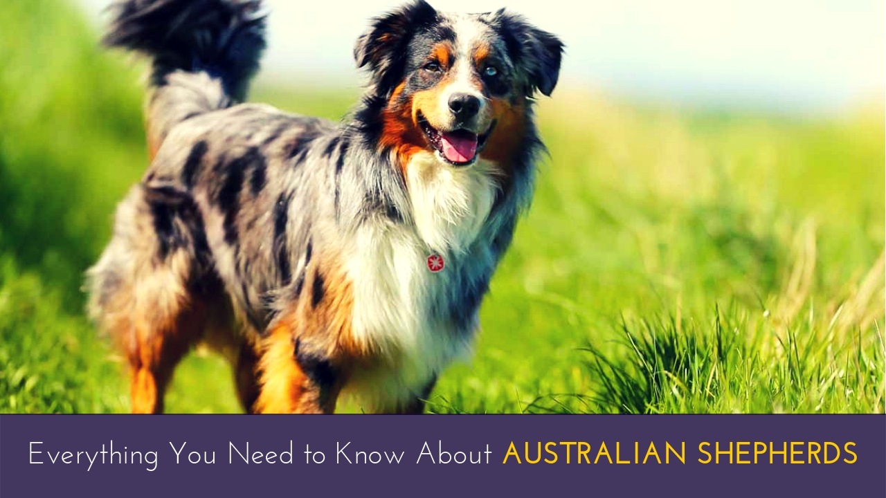 Everything You Need to Know About Australian Shepherds