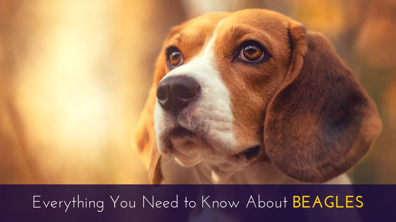 Everything You Need to Know About Beagles