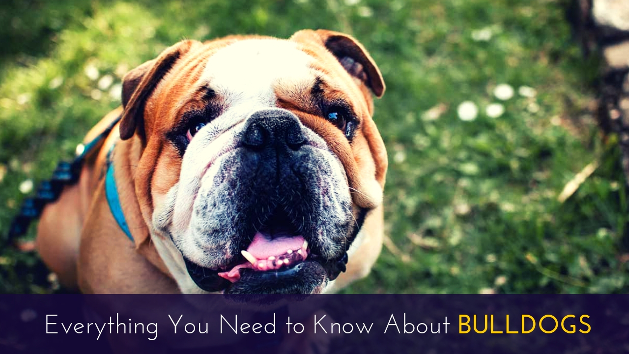 Everything You Need to Know About Bulldogs