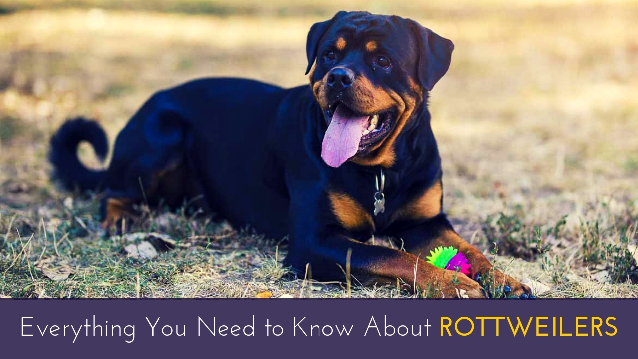 Everything You Need to Know About Rottweilers