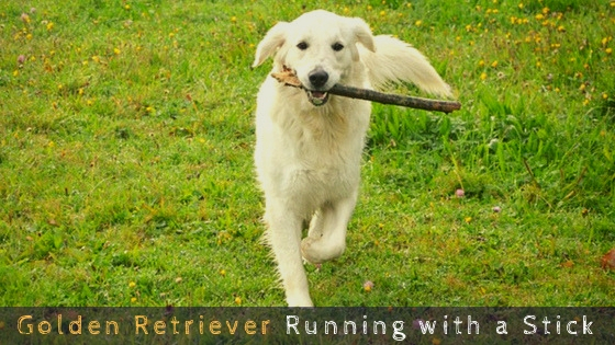 Golden Retriever Running with a Stick