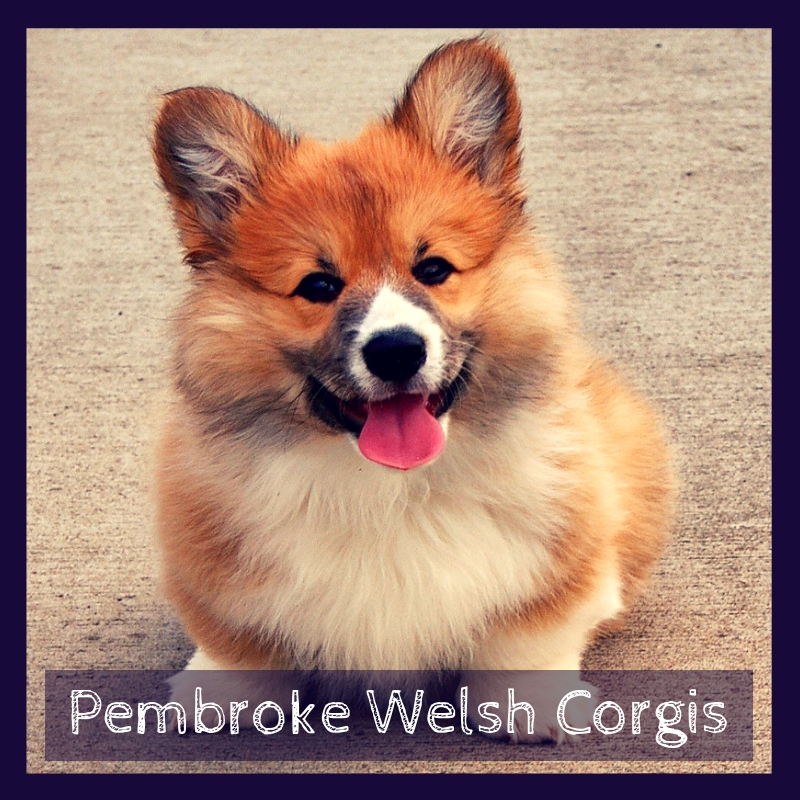 Pembroke Welsh Corgis: Facts About This Feisty Breed