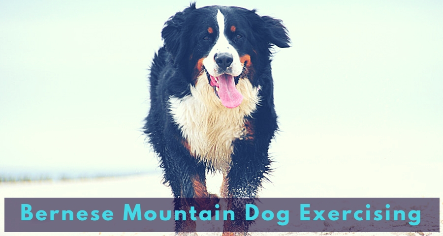 Bernese Mountain Dog Exercising