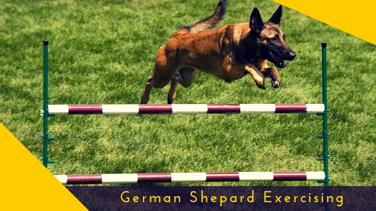 German Shepard Exercising