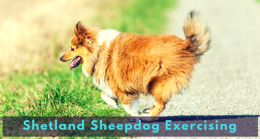 Shetland Sheepdog Exercising