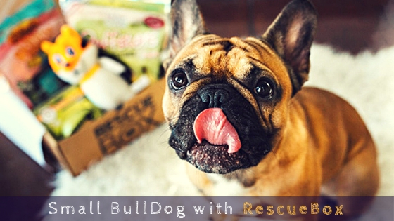 Small BullDog with RescueBox