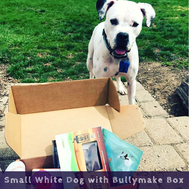 Small White Dog with Bullymake Box