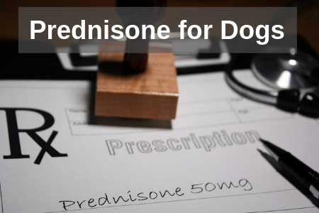Is Prednisone Safe For Dogs? Medical Guide