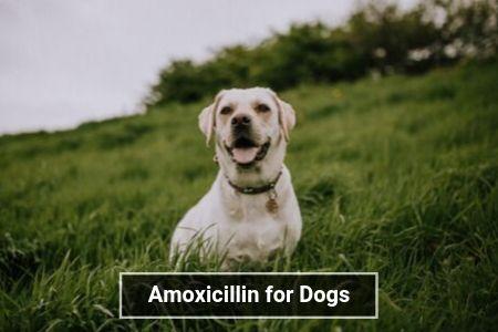 Amoxicillin for Dogs