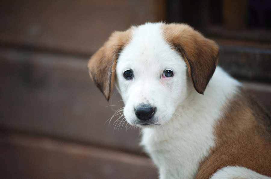 Causes of Tapeworms in Dogs