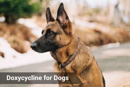 Doxycycline for Dogs