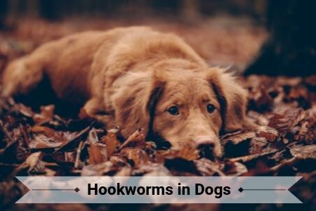 Hookworms in Dogs
