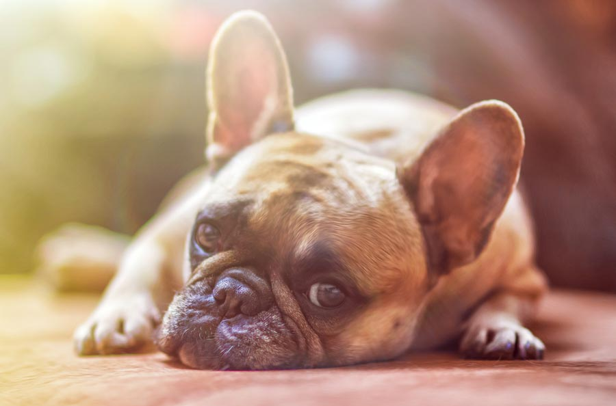 Side Effects of Rimadyl for Dogs