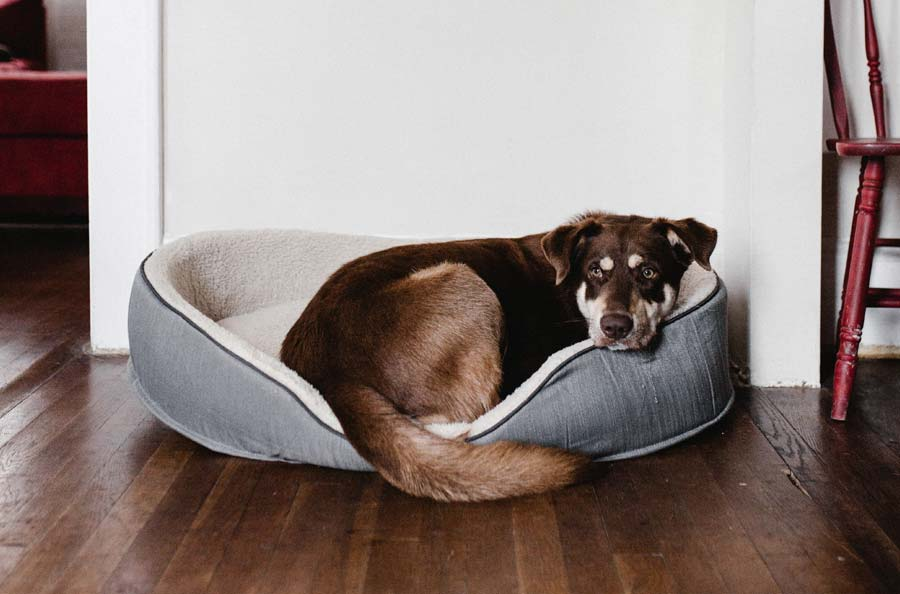 Soft Tissue Inflammation and Infection in Dogs