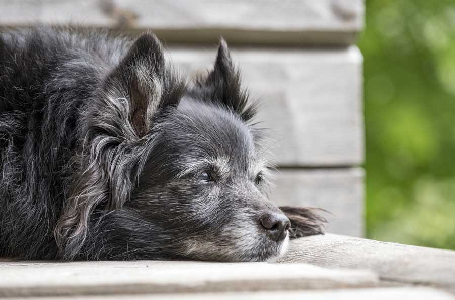 Treatment for Dogs Diagnosed with Diabetes