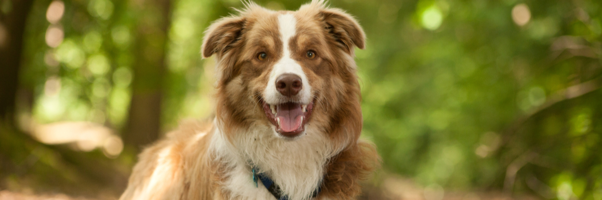 How Much Is to Certify a Therapy Dog